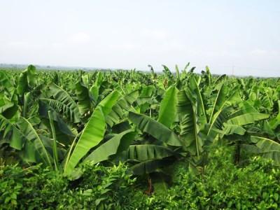 Банан - это трава