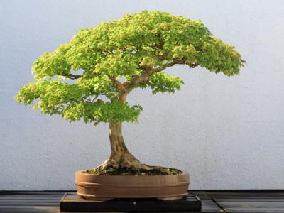 Основні принципи і правила вирощування бонсай
