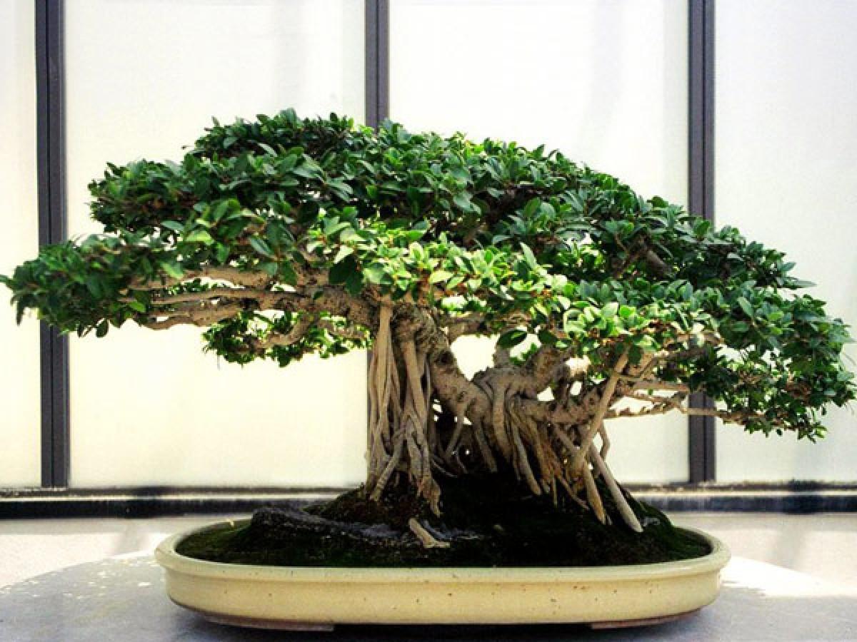 Bonsai care (part 1). Light, temperature and ventilation