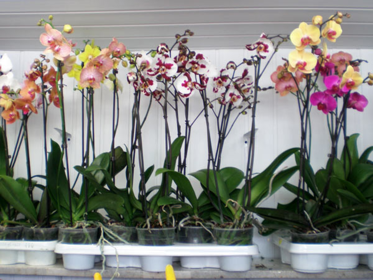 Buying and caring for an orchid