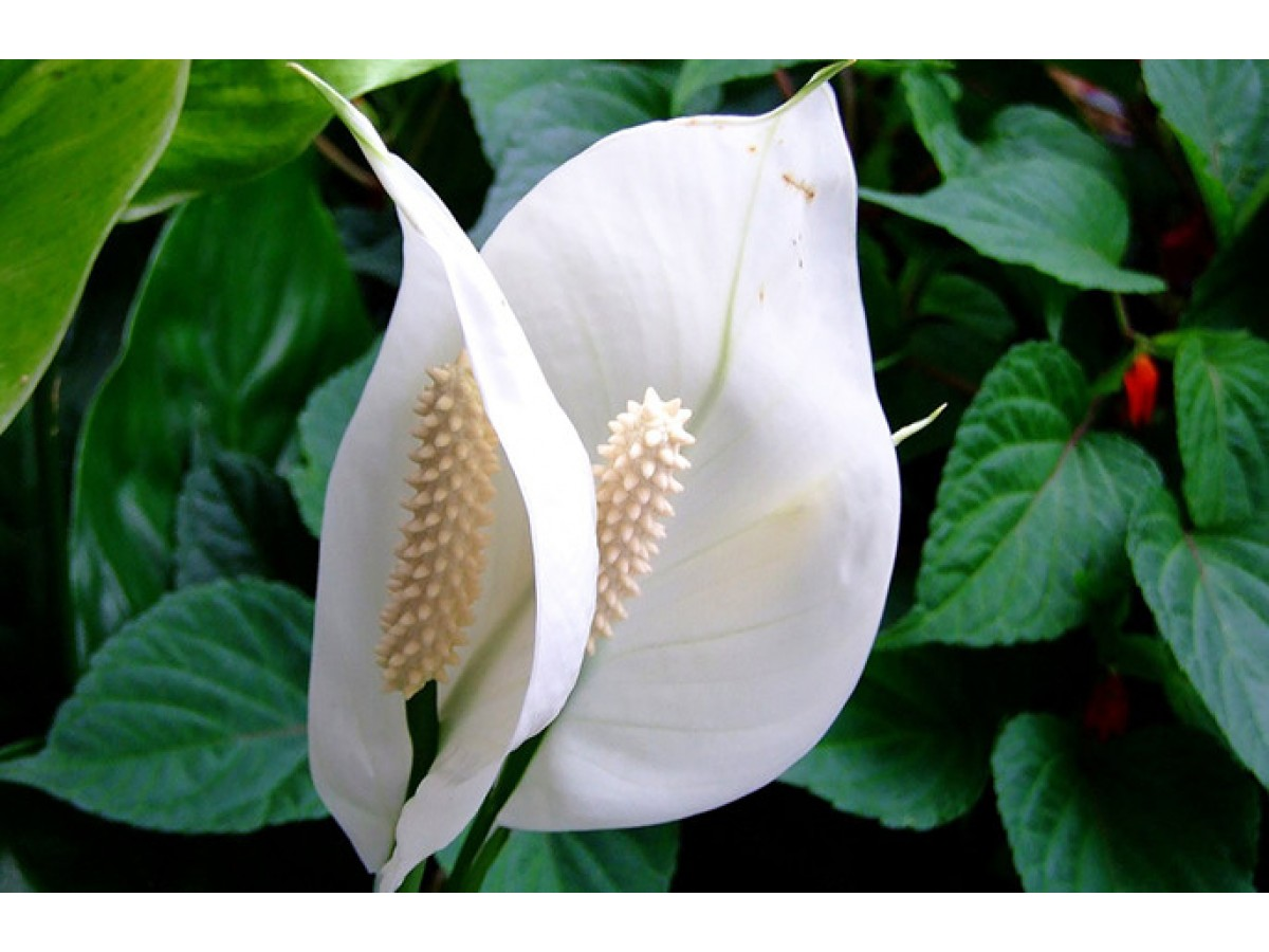 Diseases and pests of indoor flowers. Diagnostics and treatment
