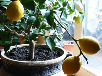 Ароматные цитрусовые в квартире