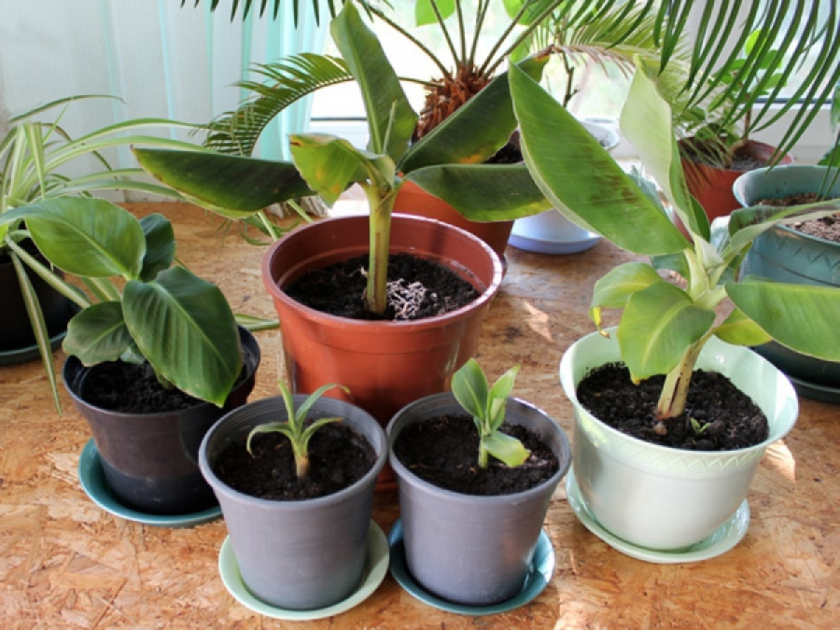 Размножение бананов детками