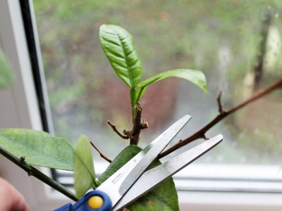 Pruning indoor plants