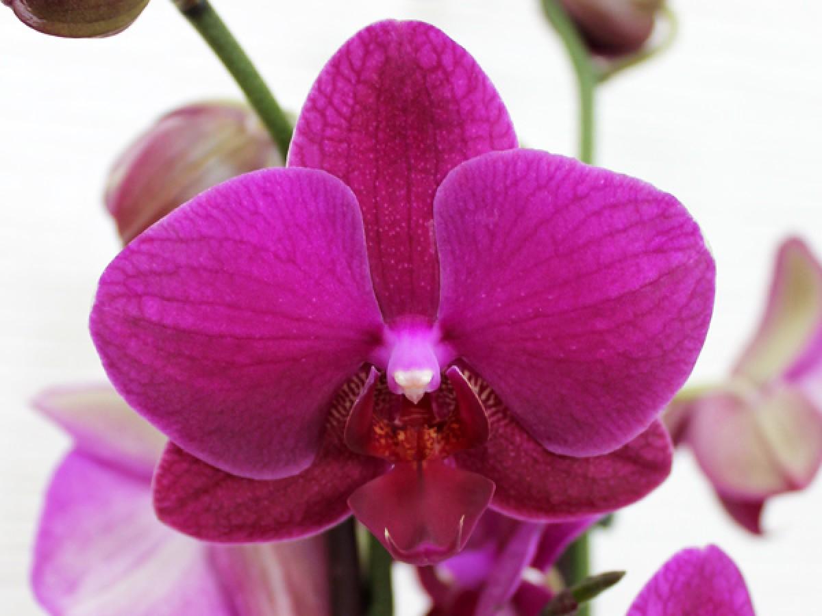 Цариця квітів - орхідея