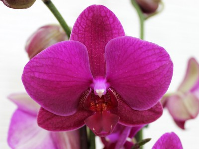 The queen of flowers - orchid