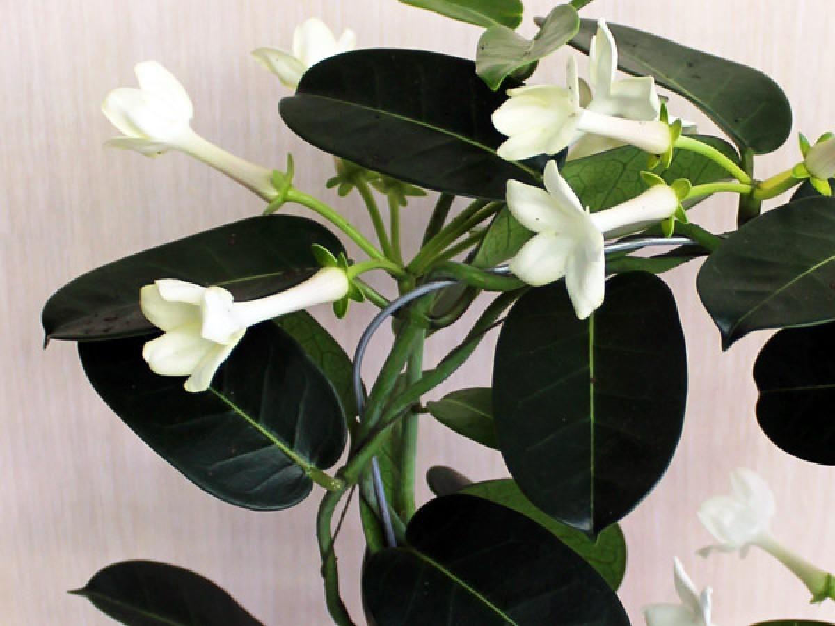Опори і підв'язування кімнатних рослин