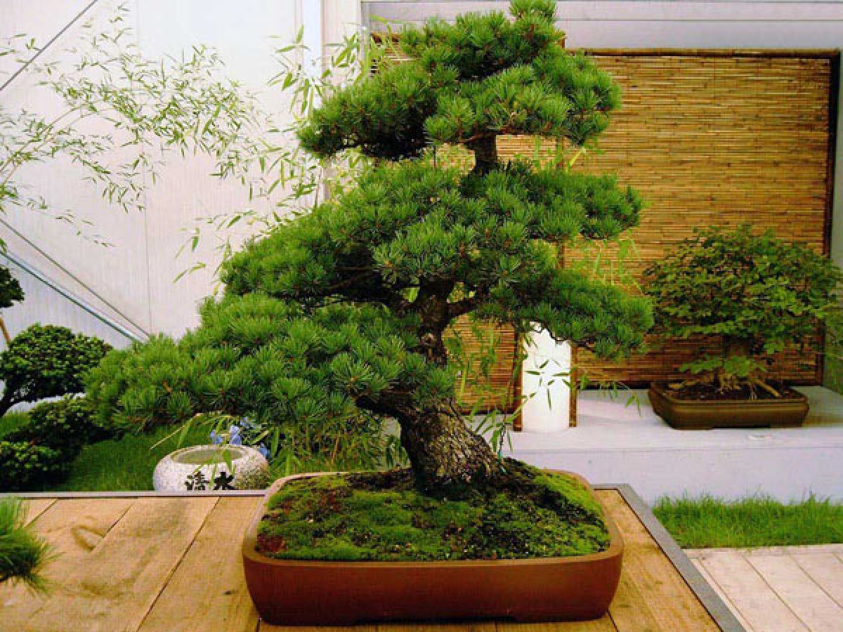 Types of bonsai. Accommodation in an apartment