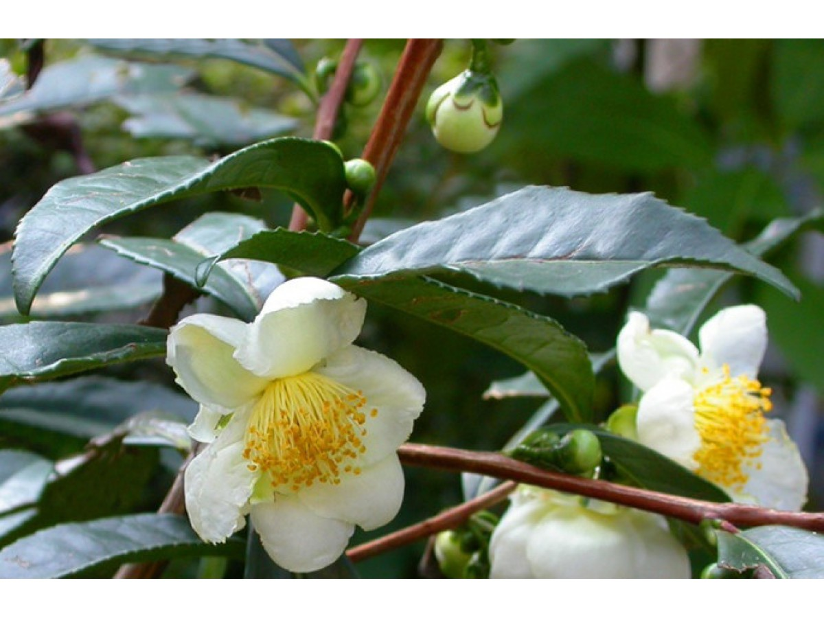 We grow a tea bush - Chinese camellia