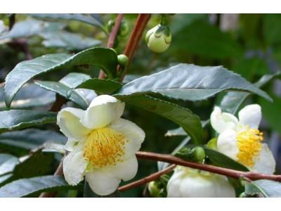 Выращиваем чайный куст - Камелию китайскую