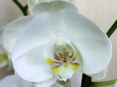 What phalaenopsis are sick with