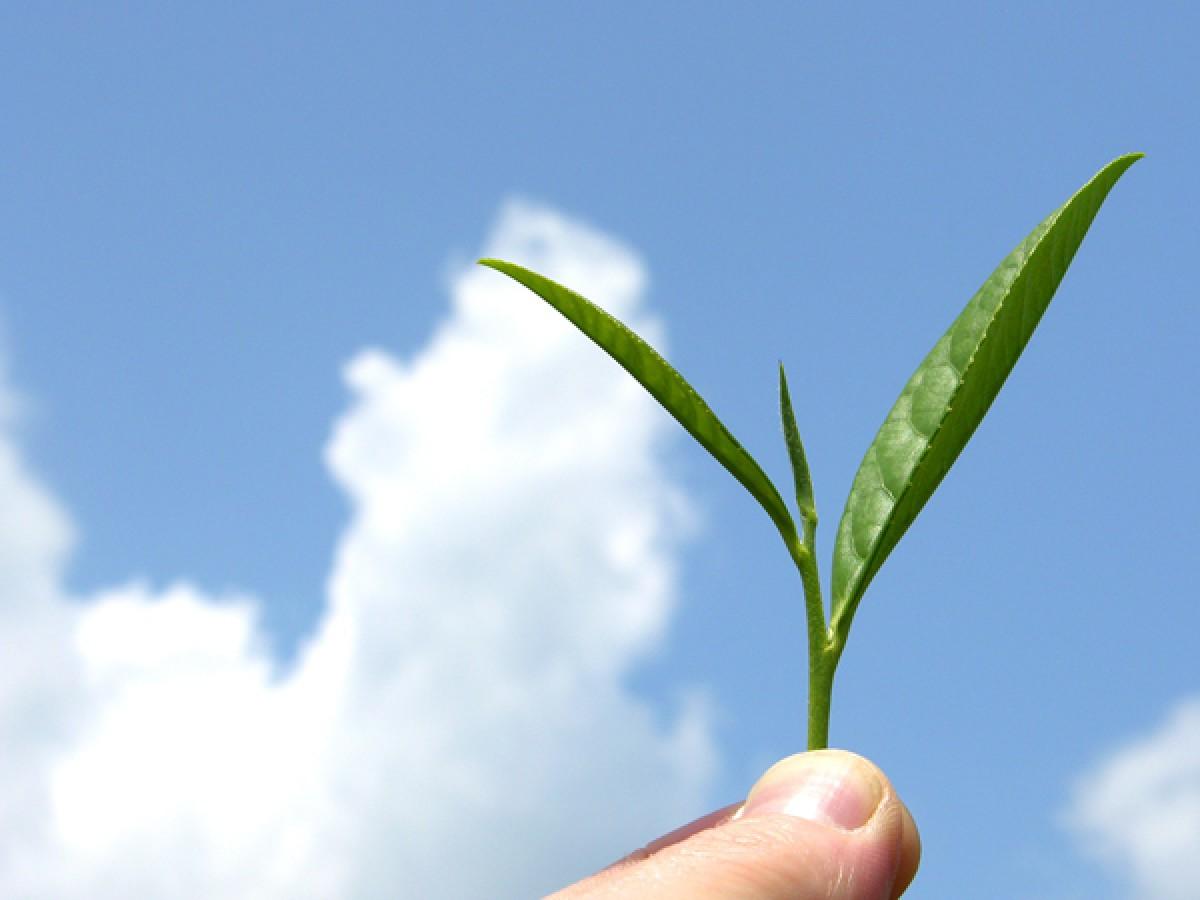 Чудове рослина - Чай