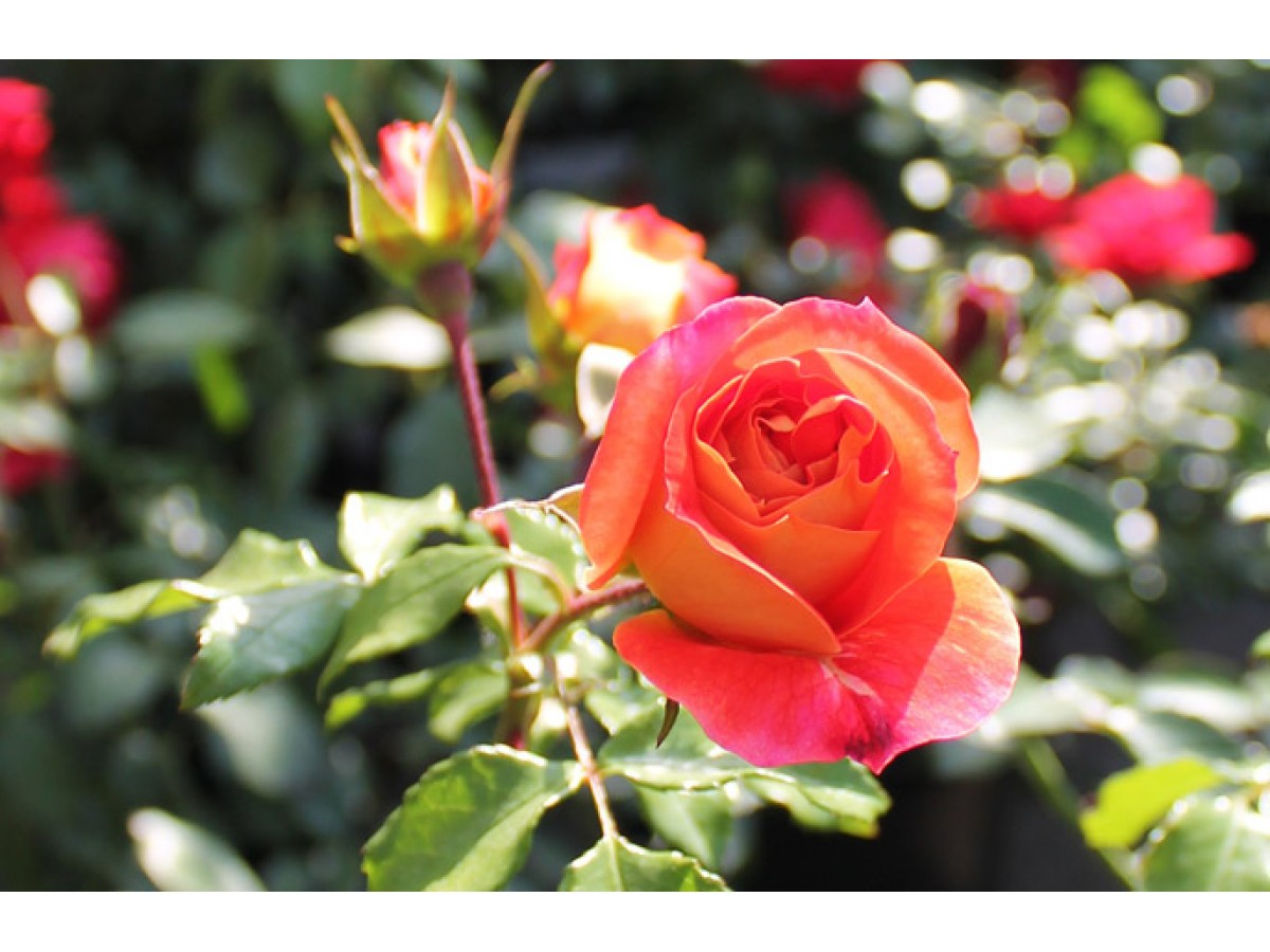 How to grow roses in the garden