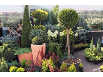 Ornamental shrubs and conifers on your site