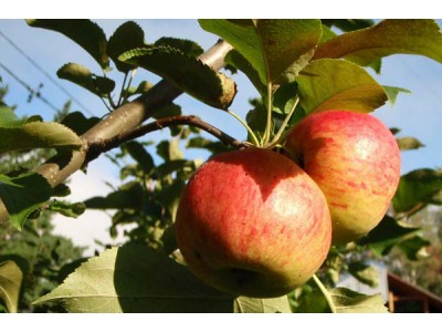 Pruning apple trees for fruiting