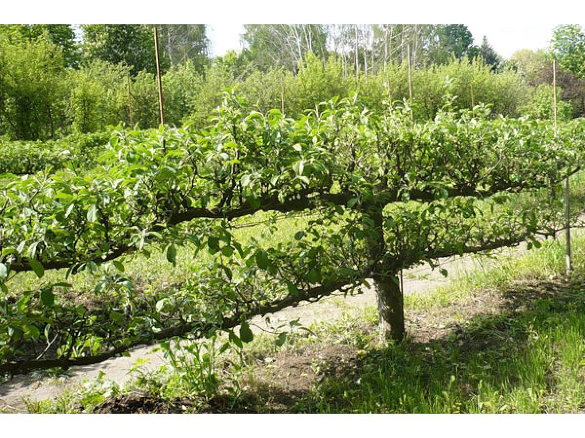 Обрезка плодовых деревьев. Виды обрезки и общие сведения