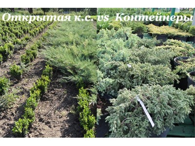 Selection of seedlings with open root system and in containers
