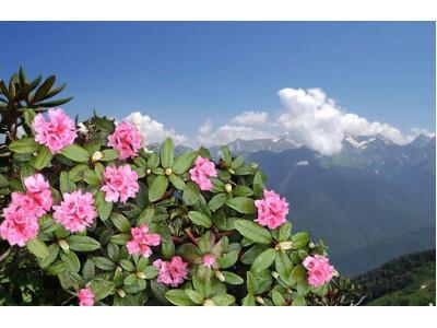 Чайні рослини. Популярні добавки до чаю