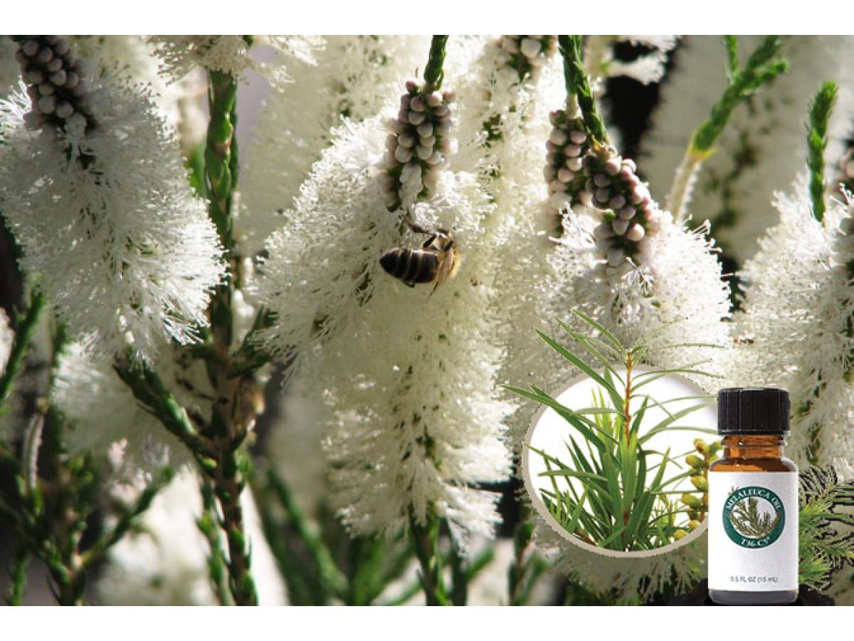 Чайное дерево (Melaleuca) - польза и применение