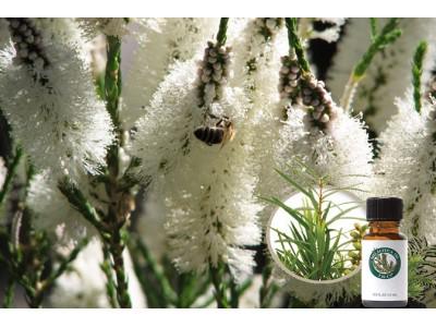 Чайне дерево (Melaleuca) - користь і застосування