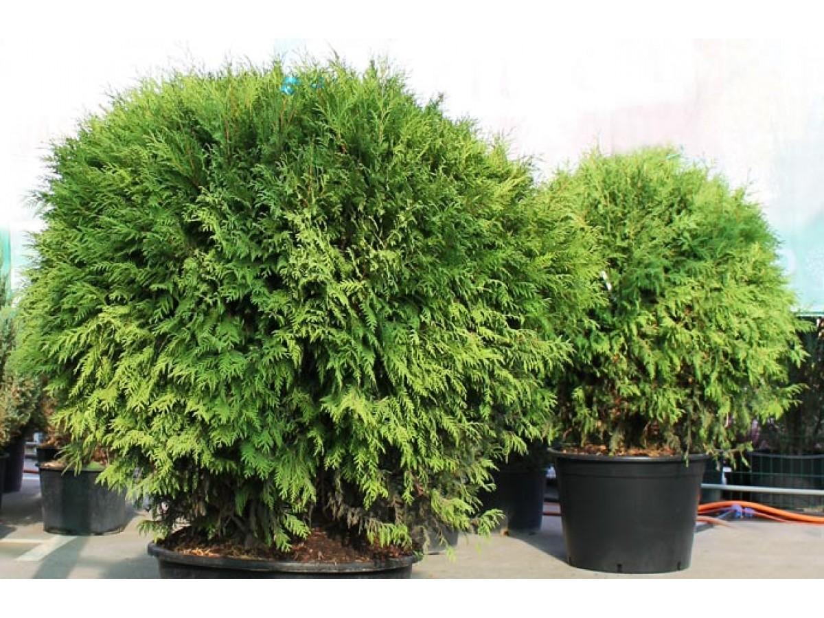 Туя западная - вечнозеленое дерево