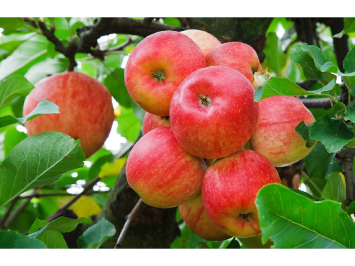 Як впливати на врожайність плодових дерев
