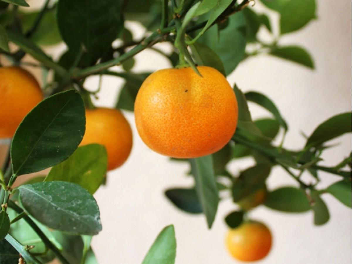Комнатные апельсины и мандарины