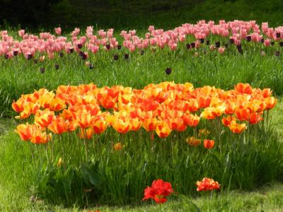 Певчее поле, выставка тюльпанов