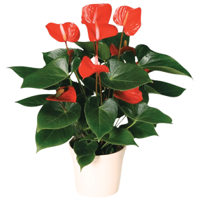 Indoor flowers wholesale and retail