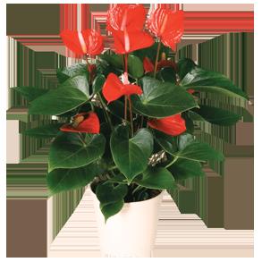 Комнатные цветы оптом и в розницу