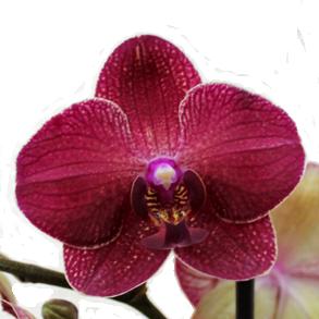 Орхидеи - бабочки на любой вкус