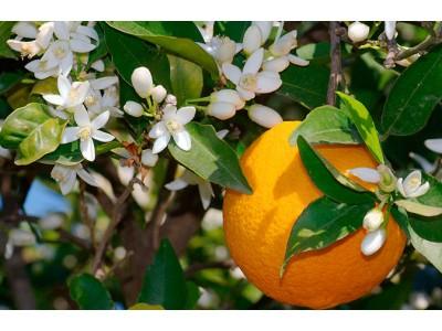 Апельсин кімнатний