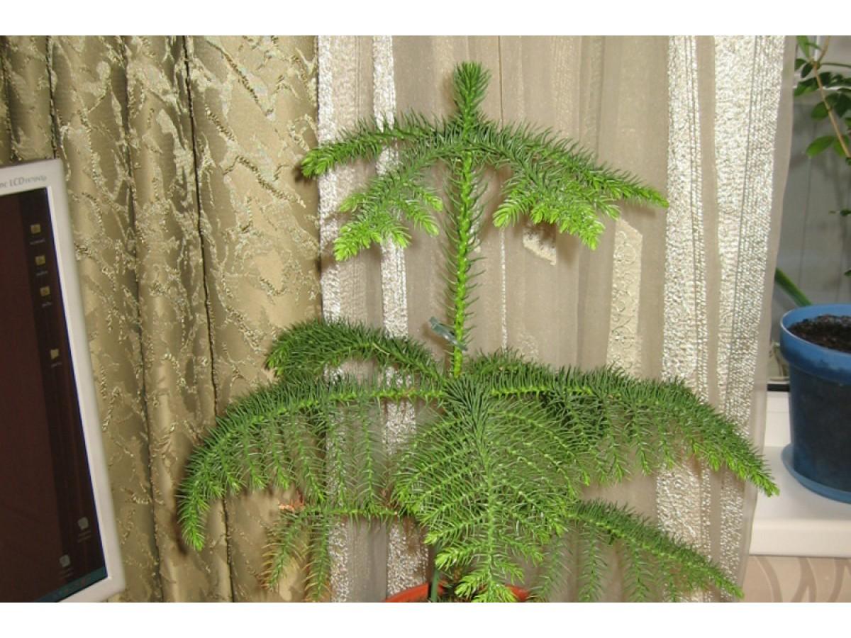 Araucaria, indoor spruce