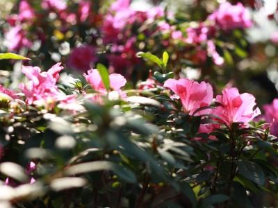 Азалія садові, рододендрон