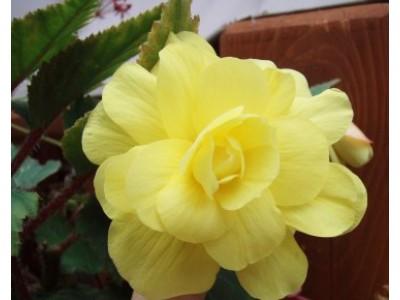 Indoor begonia