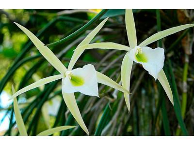 Орхідея Брассавола