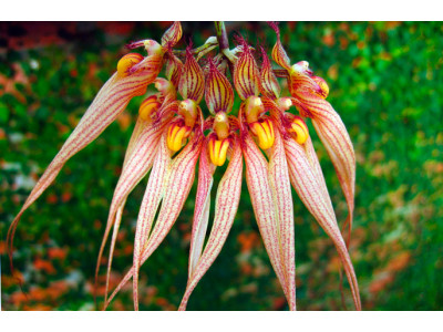 Орхидея Бульбофиллум