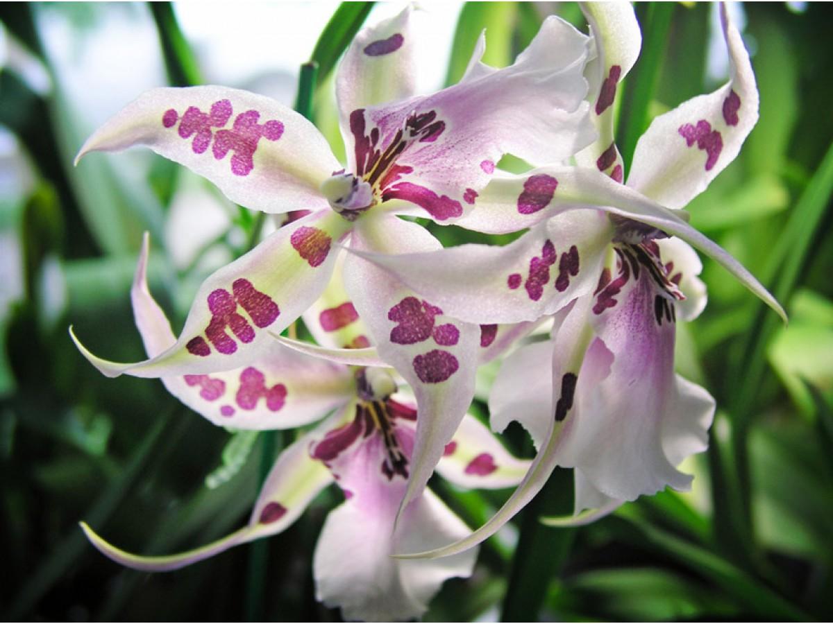 Cumbria orchid