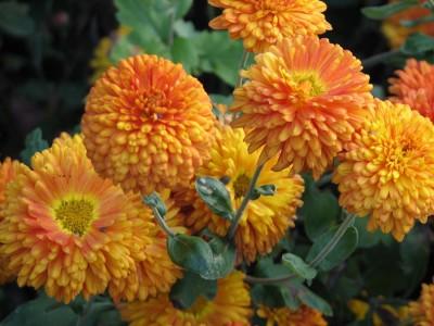Хризантема садові
