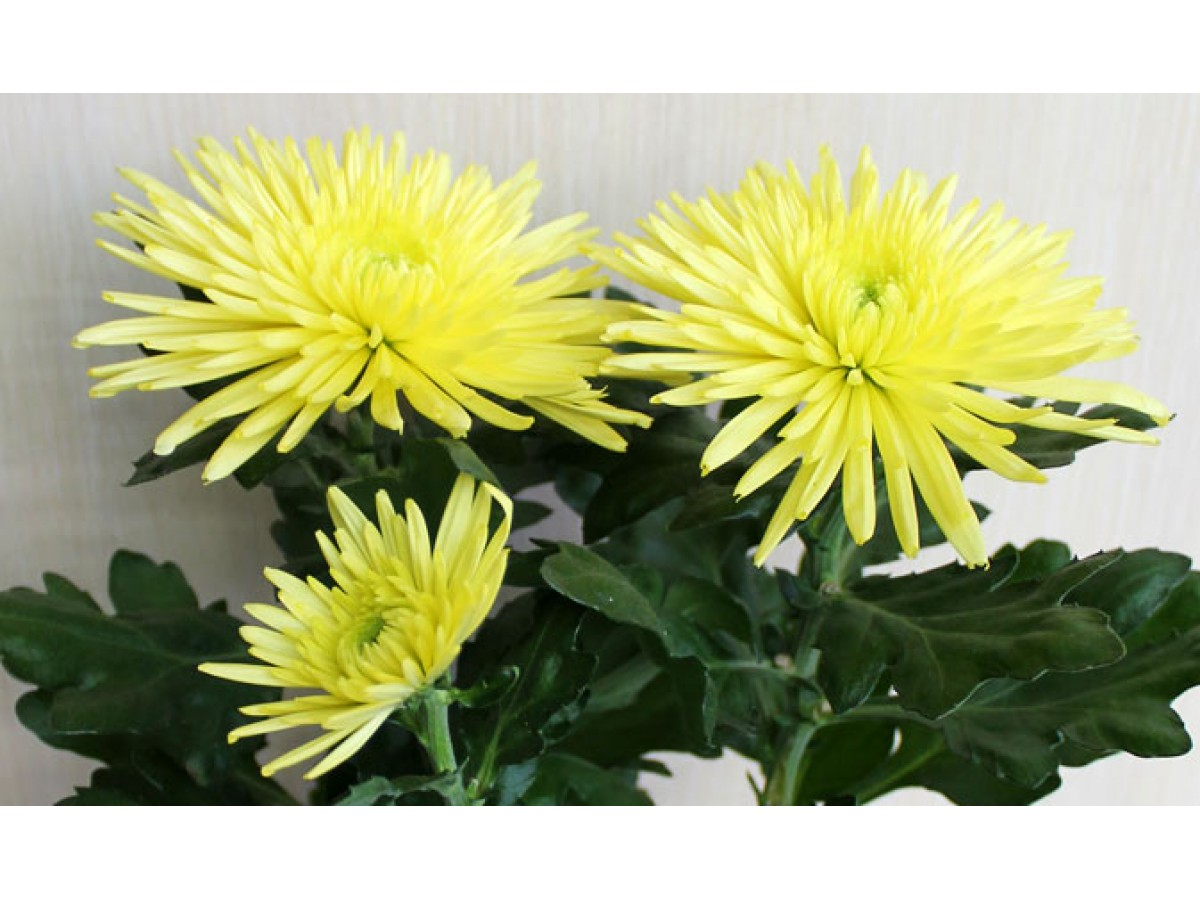 Chrysanthemum indoor