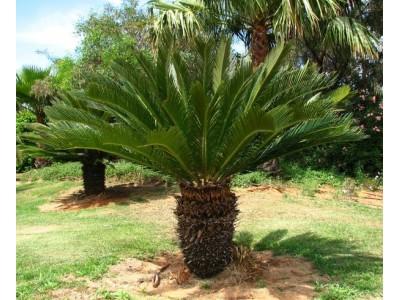 Tsikas, sago palm