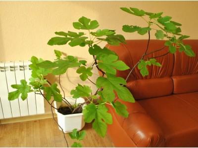 Fig indoor