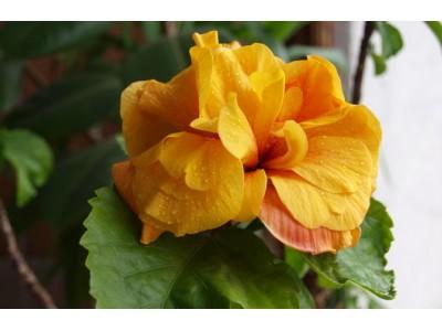 Hibiscus, Chinese rose