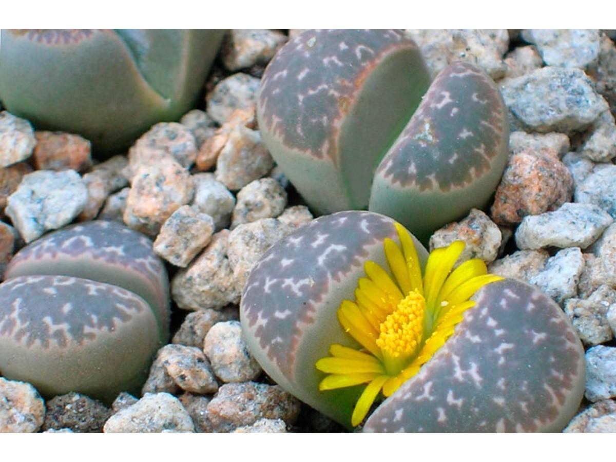 Литопс, Живые камни