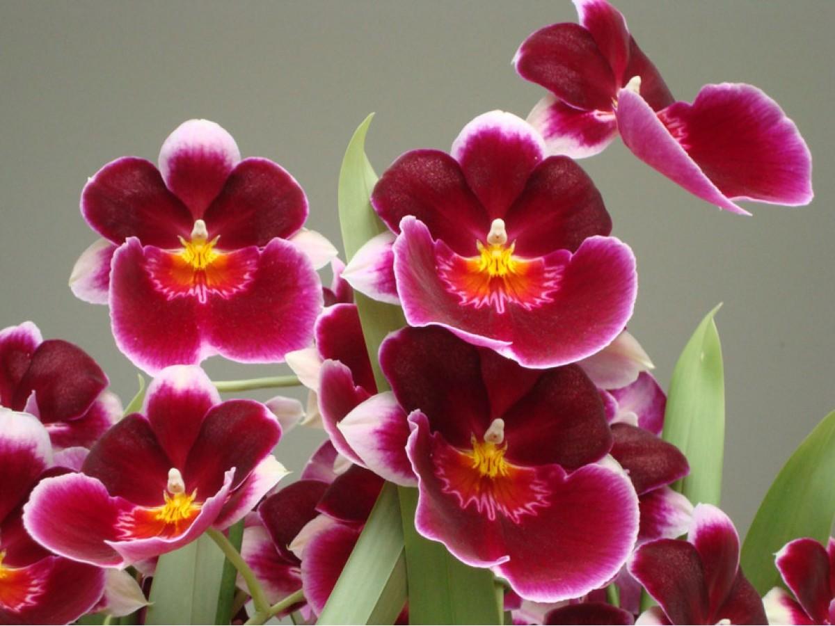 Орхідея Мильтония