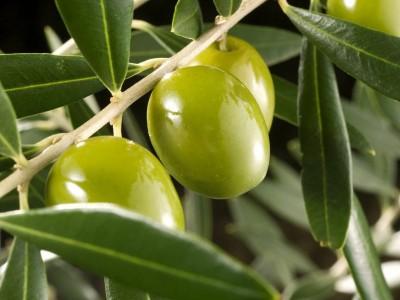 Олива, маслина