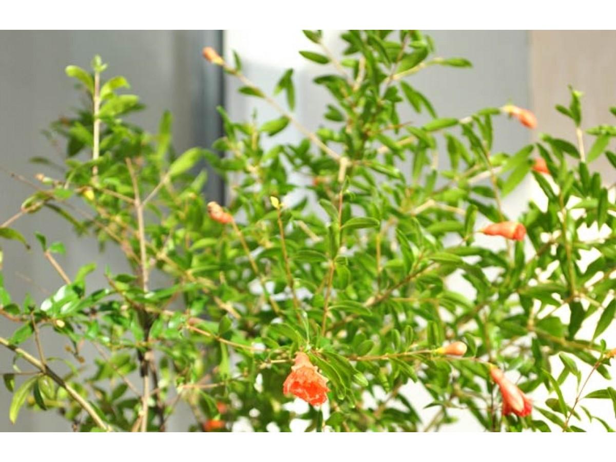 Indoor pomegranate