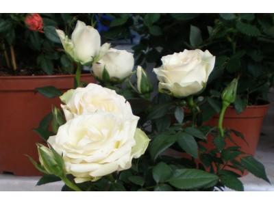 Room rose