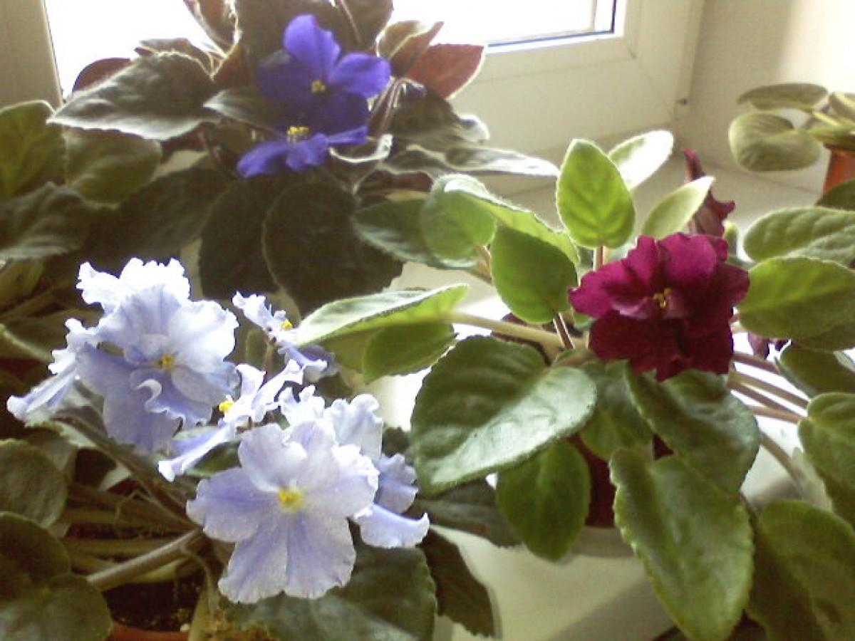 Saintpaulia, violet