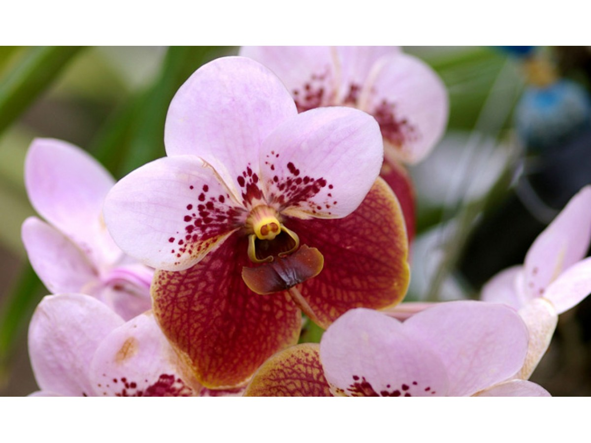 Orchid Wanda